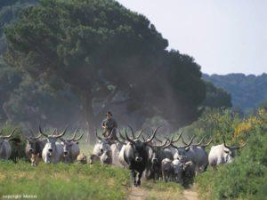 agriturismo-alberese-bovini